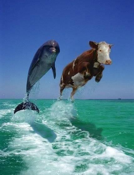 delfino mucca