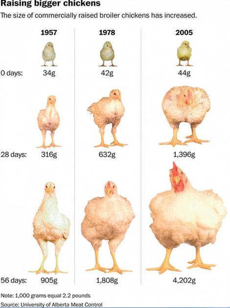 polli giganti